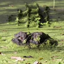 alligator-in-swamp-03